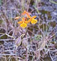 Epidendrum radicans 2 - Flickr - Ragnhild & Neil Crawford.jpg