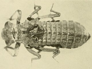 <i>Epiophlebia laidlawi</i> species of insect