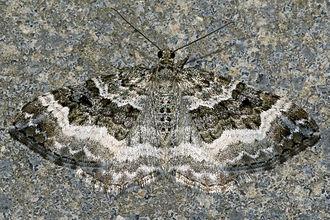 Common carpet - Image: Epirrhoe.alternata.7 126