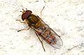 Episyrphus balteatus 8650.jpg
