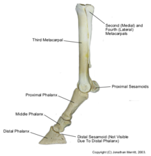 Limbs of the horse - Wikipedia