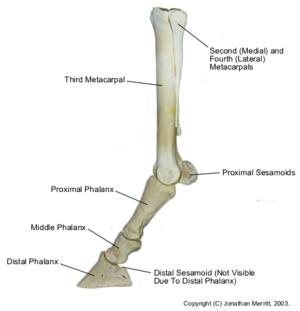 Pastern - Image: Equine dist forelimb bones