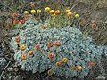 Eriogonum douglasii var. meridionale - Flickr - pellaea (1).jpg