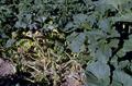 Erwinia tracheiphila - 5362671.png