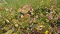Erythranthe guttata in Icicle Canyon, Chelan County Washington 2.jpg