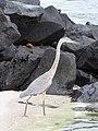 Espanola - Hood - Galapagos Islands - Ecuador (4870929679).jpg