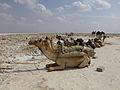 Ethiopie-Exploitation du sel au lac Karoum (11).jpg