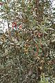 Eucalyptus forrestiana In My Front Garden (5417736892).jpg