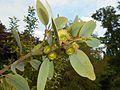 Eucalyptus preissiana 2017-05-23 1149.jpg