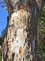 Eucalyptus punctata - trunk bark.jpg