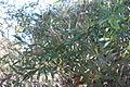 Eucalyptusenfb.JPG