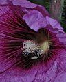 Eucera cinnamomea male on Alcea 2.jpg