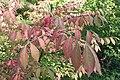 Euonymus alatus kz02.jpg