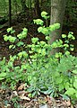 Euphorbia amygdaloides kz04.jpg