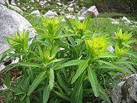 Euphorbia austriaca