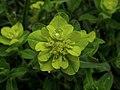Euphorbia hyberna (9583680490).jpg