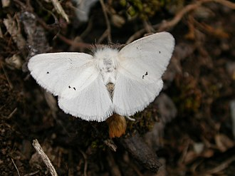 Brown-tail moth - Euproctis chrysorrhoea, upperside