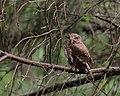 Eurasian pygmy owl (Glaucidium passerinum).jpg