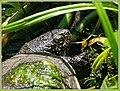 Europäische Sumpfschildkröte (29375462228).jpg