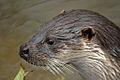 European Otter - CNP 3383 (7056961737).jpg