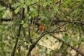 European Robin - Erithacus rubecula (45065732902).jpg