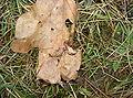 Euscorpius tergestinus Praha Krč.jpg