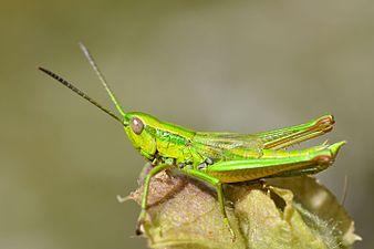 Euthystira brachyptera male (31838995896).jpg