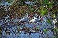Everglades41(js)-American white ibis.jpg