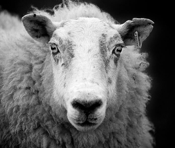 File:Ewe sheep black and white.jpg