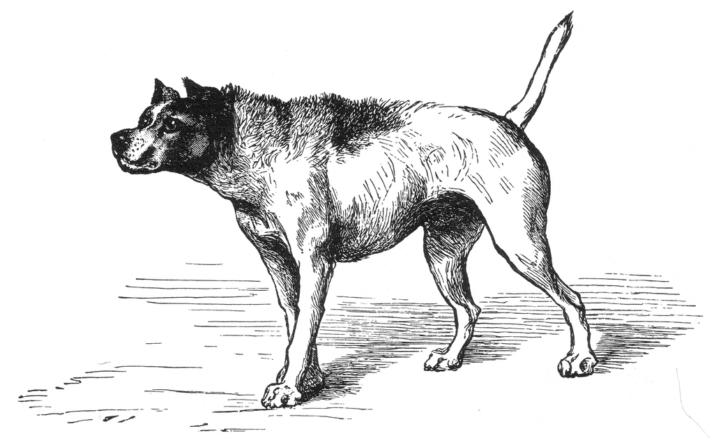 perro-pelo-erizado