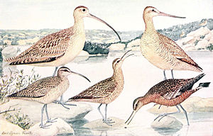 Eskimo curlew - Illustration (middle) by Louis Agassiz Fuertes