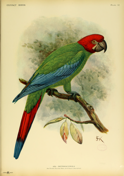 http://upload.wikimedia.org/wikipedia/commons/thumb/5/56/Extinctbirds1907_P12_Ara_erythrocephala0305.png/424px-Extinctbirds1907_P12_Ara_erythrocephala0305.png