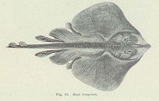 Thornback skate species of fish