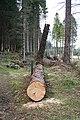 Fallen Tree - geograph.org.uk - 768678.jpg
