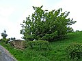 Fallen tree - geograph.org.uk - 1322715.jpg