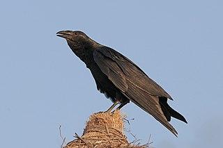 Fan-tailed raven Species of bird