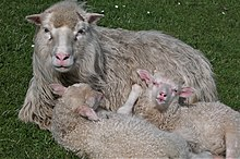 Faroese sheeps.1.jpg