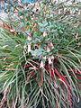 Fascicularia bicolor & Correa Marion's Marvel (23593618362).jpg