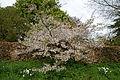 Feeringbury Manor flowering prunus, Feering Essex England 08.jpg