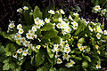 Feeringbury Manor primroses, Feering Essex England.jpg
