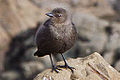 Female Brewer's Blackbird (5302980468).jpg