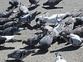 Feral pigeons feeding in Redwood City 4.JPG