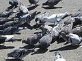 Feral pigeons feeding in Redwood City 4.JPG