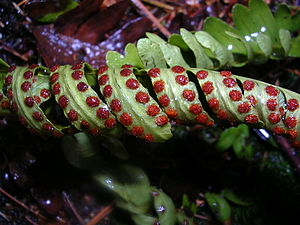 Sporangium - Sporangia (sori) on a fern leaf