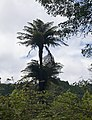 Fern tree in Mata Jardim José do Canto 3.jpg
