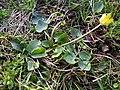 Ficaria calthifolia sl20.jpg