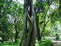 Ficus2.jpg