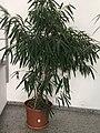 Ficus maclellandii Alii.jpg