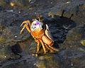 Fiddler Crab at Cedar Key, FL - Flickr - Andrea Westmoreland.jpg