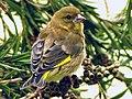Finch (5721195083).jpg